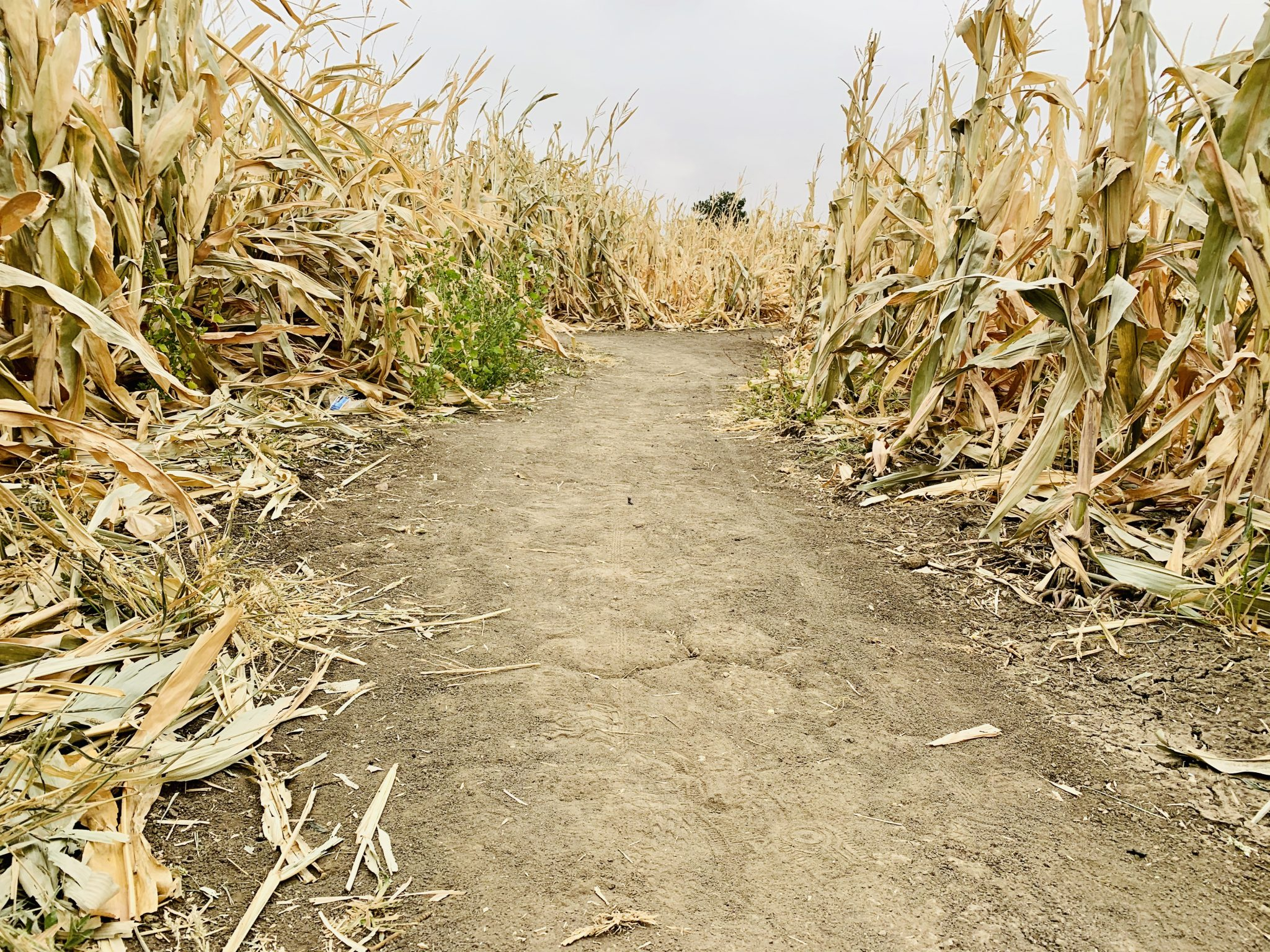 corn maze route with hard dirt path